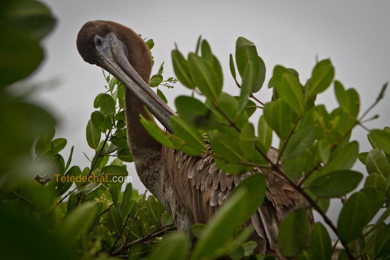 pelican_arbre_port_santa_cruz_4
