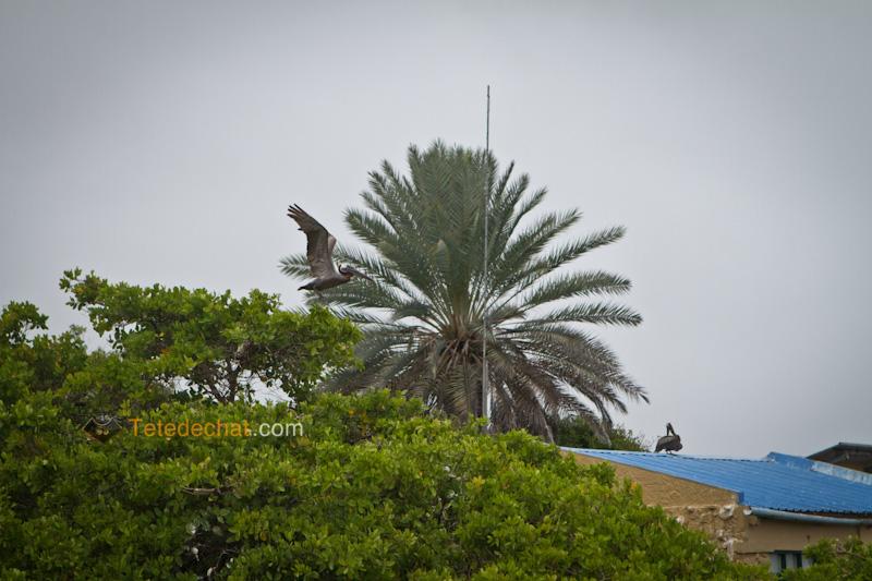 pelican_port_santa_cruz