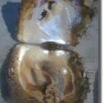 Les bateaux «Pearl»…