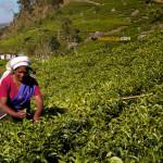 Vous prendrez bien un peu de thé à Haputale?