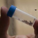 Les Bedbugs (punaises de lit)