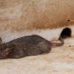 Bikaner et le temple des rats