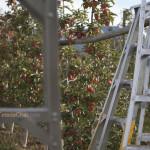 Entre cerises et pommes