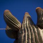 Tucson et les champs de cactus