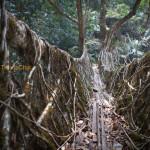 Les ponts «vivants» de Cherrapunji