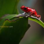 Les grenouilles rouges de Bocas del Toro